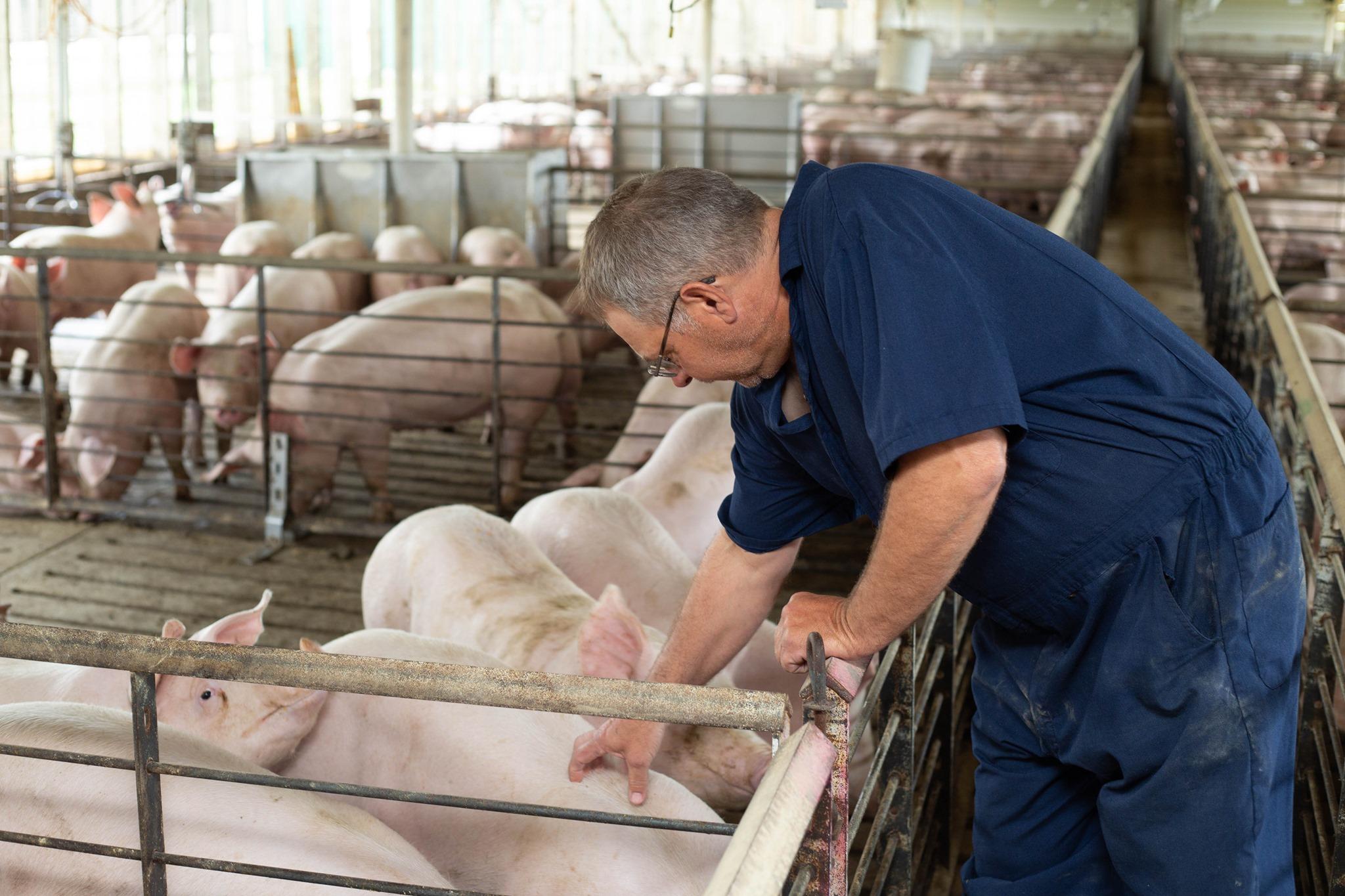 A man pets a pig.